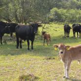 Taurus cattle.