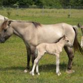 Konik horses.