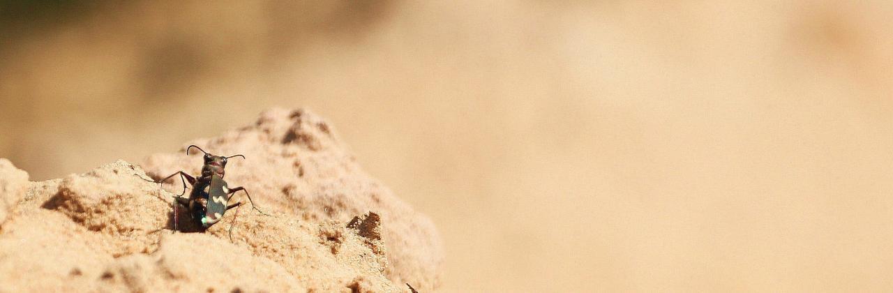 Bug in Cesla quarry.